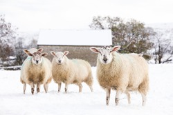 flock of sheep in the snow on a farm