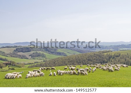 flock of sheep on a pasture in the Crete Senesi