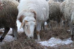 Flock of Sheep on Farmland Grazing and Curiously Looking at Camera while Eating Hay in Winter. Fluffy Wool Livestock Group of Animals in Village