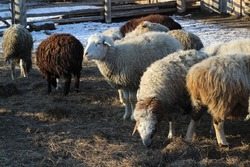Flock of Sheep on Farmland Grazing and Curiously Looking at Camera while Eating Hay in Winter. Funny Fluffy Wool Livestock Group of Animals in Village