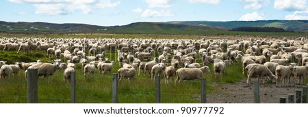 Flock of sheep on New Zealand farm, oblong.
