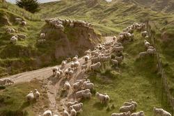 Flock of sheep on rugged New Zealand farm.