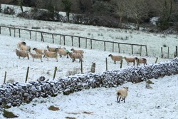 Flock of sheep on snow-covered pastures on farmland in rural Ireland during winter