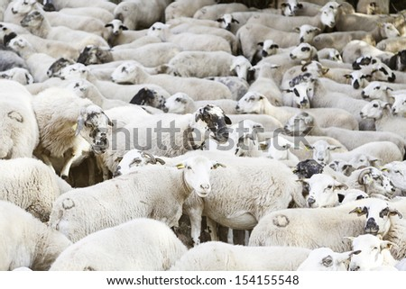 Flock of sheep on the farm, detail of the livestock industry, animal living mammals, life and nature