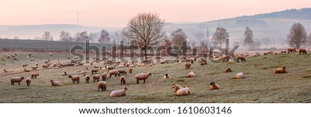 Flock of Sheep on the Grazing Land, Early Morning Сток-фото ©
