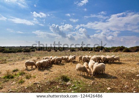 Flock of sheep on the island of Pag, Croatia. From these sheep comes the famous cheese from Pag