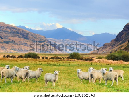 Flock of sheep on the meadow