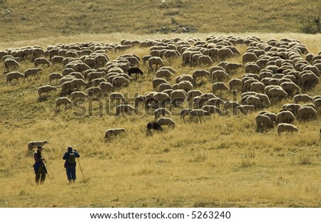 Flock of sheep on the mountain of Macedonia