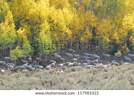 Flock of sheep resting beneath yellow aspen trees in the mountains during autumn.