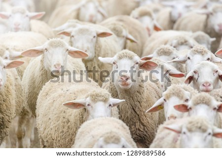 Flock of sheep, sheep farm #1289889586
