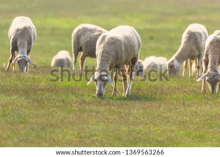 Flock of sheep, sheep on field #1369563266