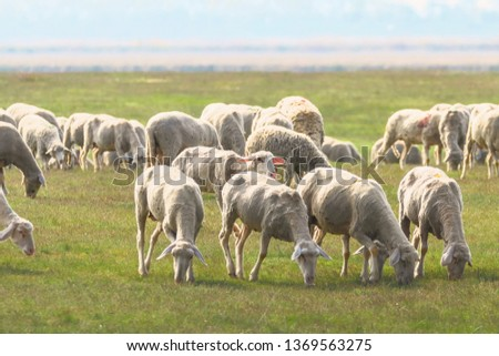 Flock of sheep, sheep on field #1369563275