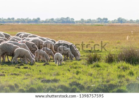 Flock of sheep, sheep on field #1398757595