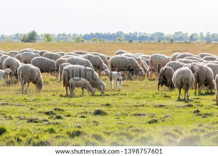 Flock of sheep, sheep on field #1398757601