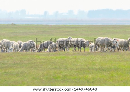 Flock of sheep, sheep on field #1449746048