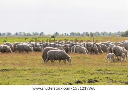 Flock of sheep, sheep on field #1551219968
