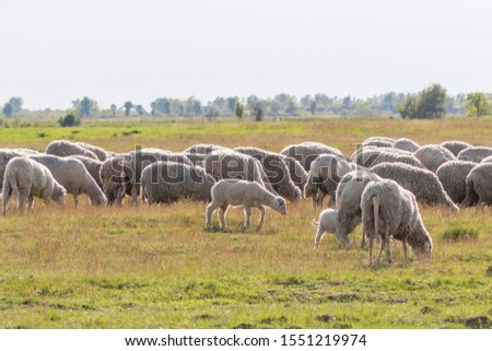 Flock of sheep, sheep on field #1551219974