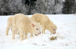 Flock of sheep skudde with lamb eating the hay meadow covered with snow. Winter on the farm.