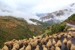 Flock of sheep walking on the mountain road  Manali - Leh in Darcha, Himachal Pradesh, India.