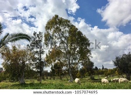 flock of sheep, yearning and goats on spring green grass #1057074695