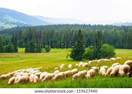 Flock of sheeps on the meadow next to Zakopane Mountains, Poland