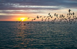 Flock of skimmers fly in front of the sun during sunset in the Gulf of Mexico