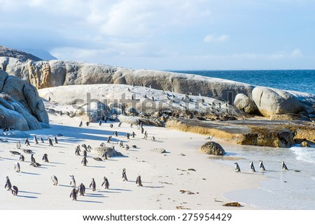 Flock of small African penguins at Boulder Beach just outside Cape Town, South Africa
