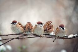 Flock of small bird sparrow sitting on tree branch on winter nature background