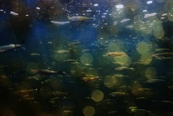 flock of small fish underwater, freshwater bleak fish anchovy seascape