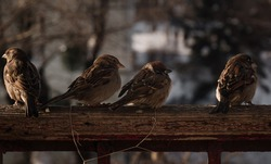 flock of small funny birds sparrows sit on a wooden fence in a row and have fun chatter