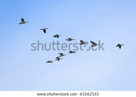 Flock of snow geese (Chen caerulescens) flying in a formation