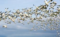 Flock of snow geese in flight.
