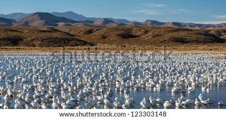 Flock of snow geese on pond at Bosque del Apache National Wildlife Refuge