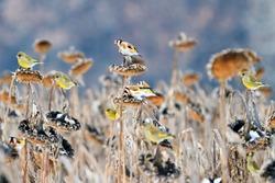 flock of songbirds eating sunflower seeds in a winter field