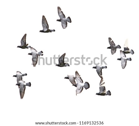 flock of speed racing pigeon bird flying on white background