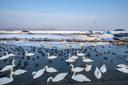 Flock of Swans, black and white types on the Frozen Danube river, in Zemun, Belgrade, Serbia with ice popping out of the water. Swans, or cygnus, are a typical white bird from European rivers.