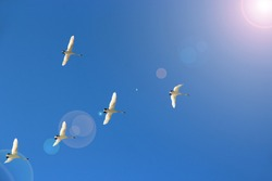 Flock of swans flying through blue sky. Swan flock flying in blue sky and sunbeams. Migratory birds fly in clear sky. Five swans flying to Motherland. Beautiful birds in heaven