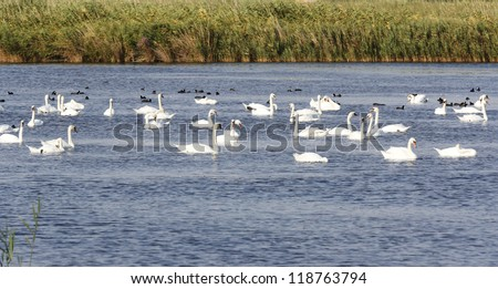 Flock of swans on the lake