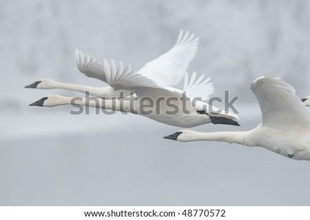 Flock of Trumpeter Swans (Cygnus buccinator) Fly Past - wild group of trumpeter swans fly by in preparation for landing on wintry Minnesota river - focus on middle swan - panning and motion blur