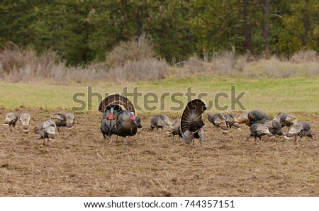 Flock of turkeys, with males (Tom's) strutting in front of the females