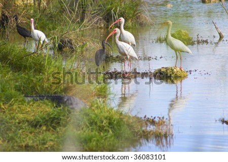 Flock of white and blue herons, egrets in Everglades national park swamp, Florida