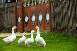 Flock of white domestic geese on the pasture. Big white goose in meadow. Domestic geese on the green lawn
