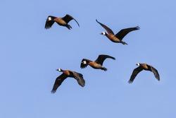 Flock of white faced whistling ducks. Five white faced whistling ducks fly in a lovely blue sky.