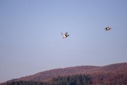 flock of wild ducks in flight. Anas platyrhynchos birds on the sky