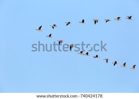 flock of wild geese flying in v-shape on blue sky #740424178