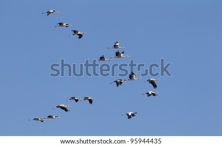 Flock of Yellow Billed Storks (Mycteria ibis) flying in the Kruger Park, South Africa