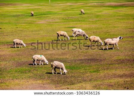 Flock on the grasslands of Inner Mongolia #1063436126