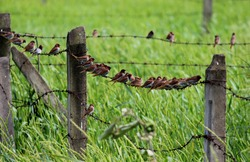 flock or colony of scaly breasted muniyas sitting on a wire fence in a grassland or farmland