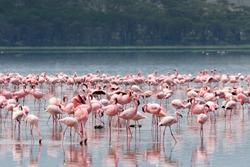 Flocks of flamingo. Lake Nakuru national park, Kenya, Africa