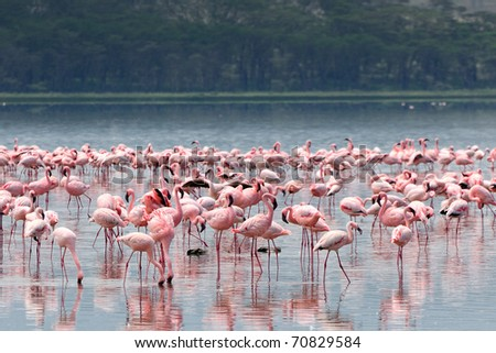 Flocks of flamingo. Lake Nakuru national park, Kenya, Africa